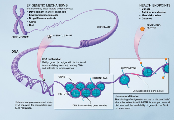 Epigenetic_mechanisms