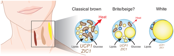 testosterone cells