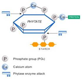 phytate_phytase