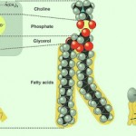 phospholipid_structure