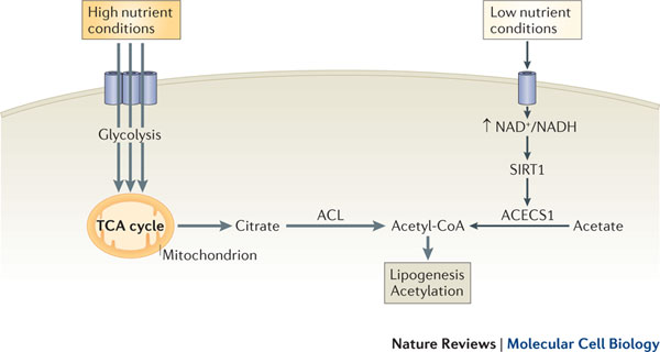 Acetyl_CoA