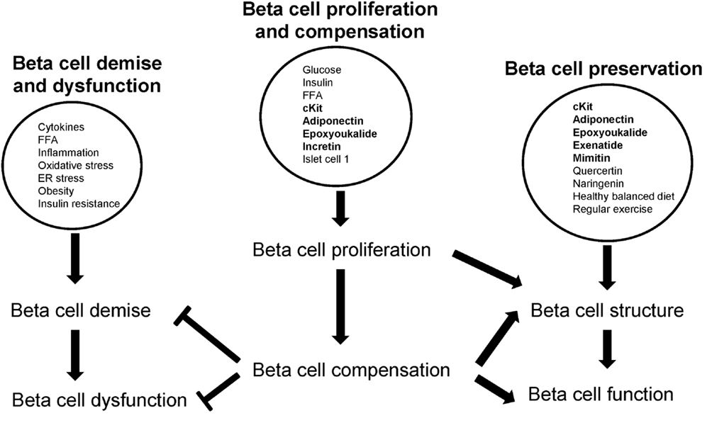 Beta Cell Dysfunction And Insulin Resistance