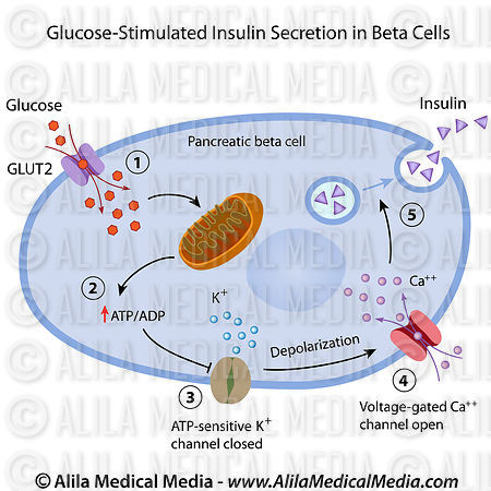 glucose_induce_insulin_release_large