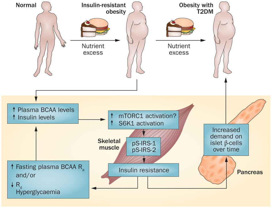 Сыромоноедение | Branched-chain amino acids in metabolic signalling and insulin resistance ...