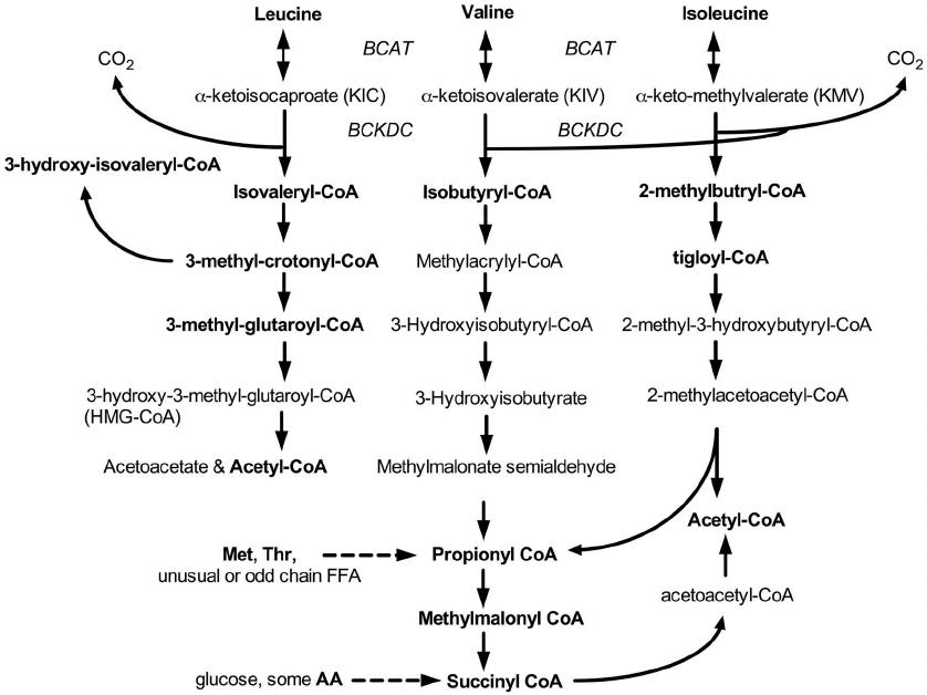 bcaa_metabolism